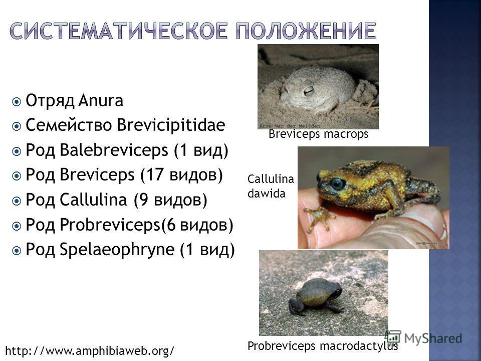 Отряд Anura Семейство Brevicipitidae Род Balebreviceps (1 вид) Род Breviceps (17 видов) Род Callulina (9 видов) Род Probreviceps(6 видов) Род Spelaeophryne (1 вид) Callulina dawida Breviceps macrops Probreviceps macrodactylus http://www.amphibiaweb.o
