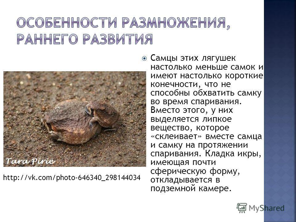 Самцы этих лягушек настолько меньше самок и имеют настолько короткие конечности, что не способны обхватить самку во время спаривания. Вместо этого, у них выделяется липкое вещество, которое «склеивает» вместе самца и самку на протяжении спаривания. К