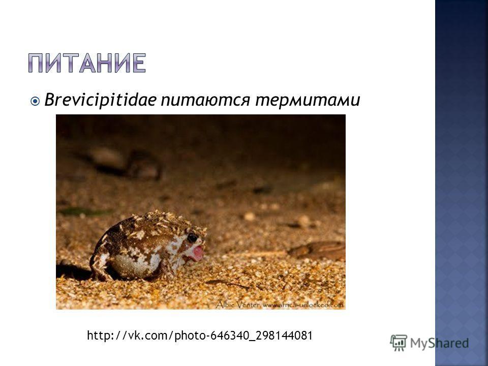 Brevicipitidae питаются термитами http://vk.com/photo-646340_298144081