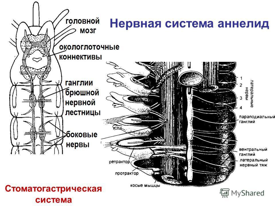 Нервная система аннелид Стоматогастрическая система