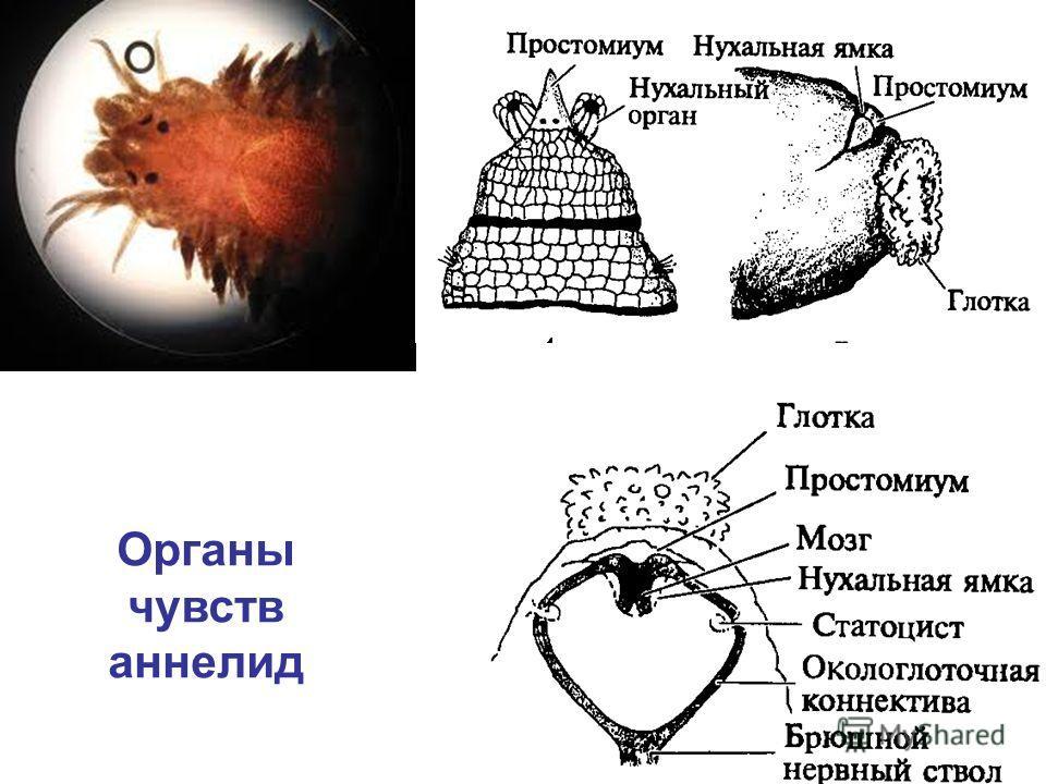 Органы чувств аннелид