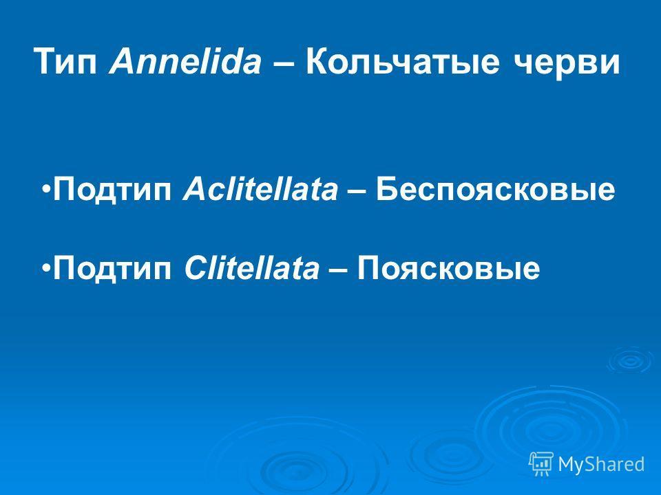 Тип Annelida – Кольчатые черви Подтип Aclitellata – Беспоясковые Подтип Clitellata – Поясковые