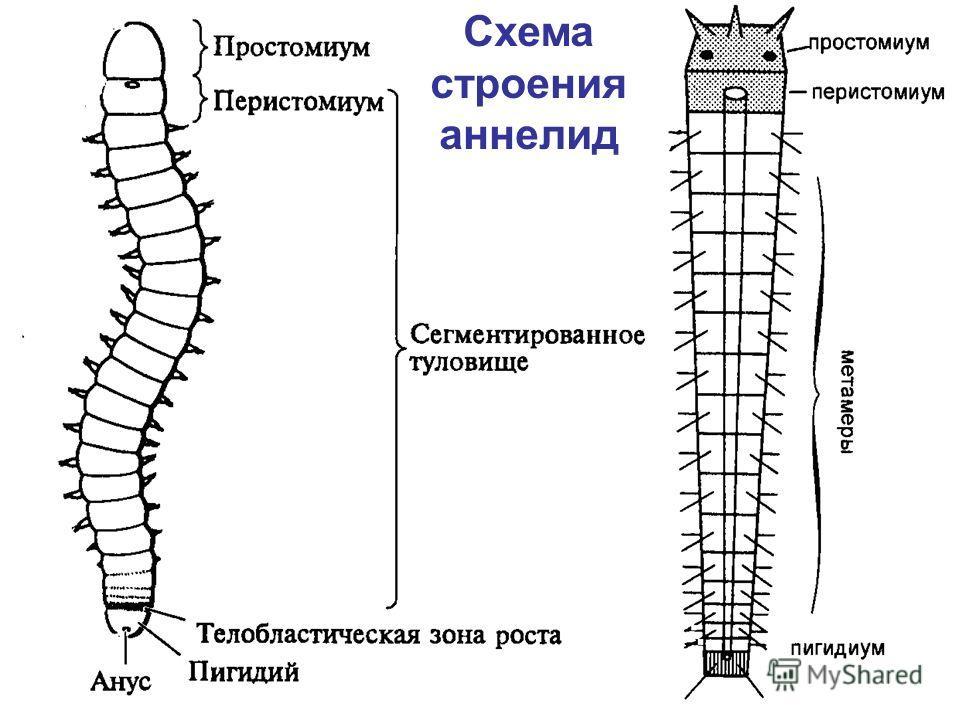 Схема строения аннелид