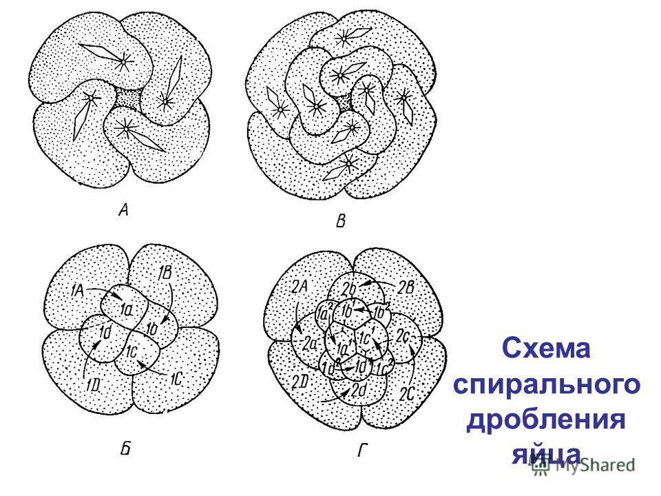 Схема спирального дробления яйца
