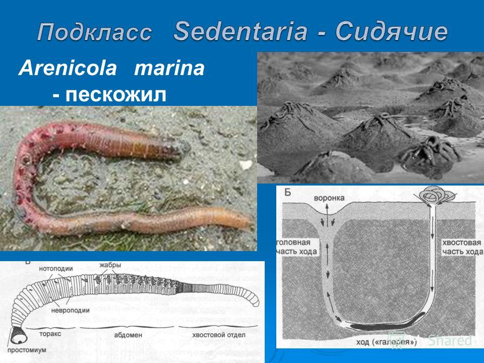 Arenicola marina - пескожил
