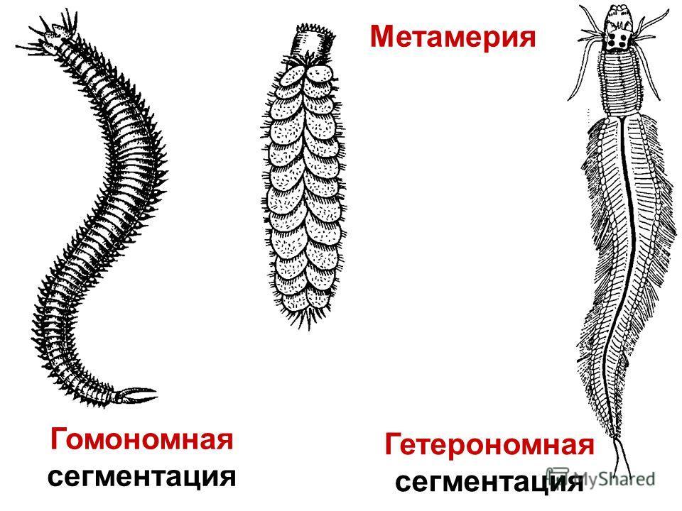 Гомономная сегментация Гетерономная сегментация Метамерия