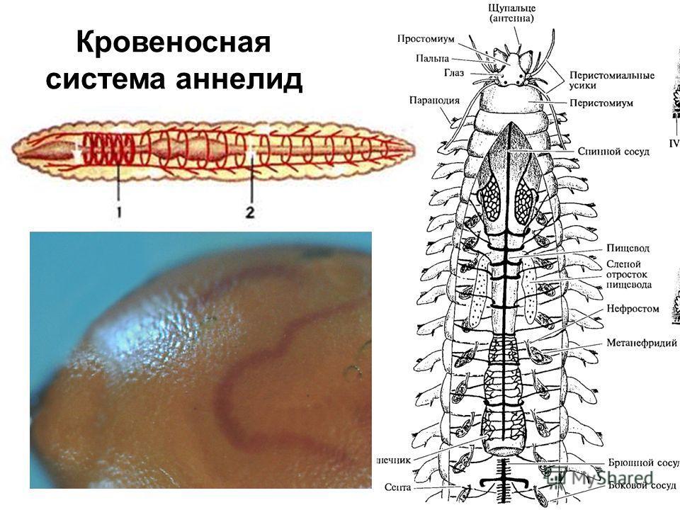Кровеносная система аннелид