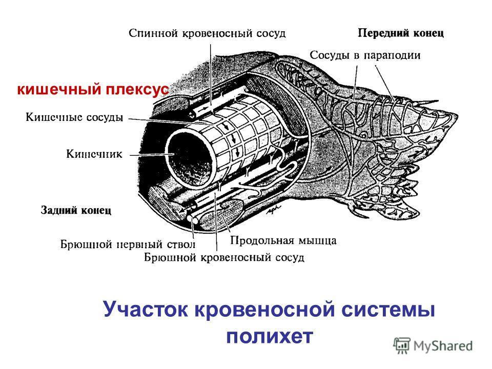 кишечный плексус Участок кровеносной системы полихет