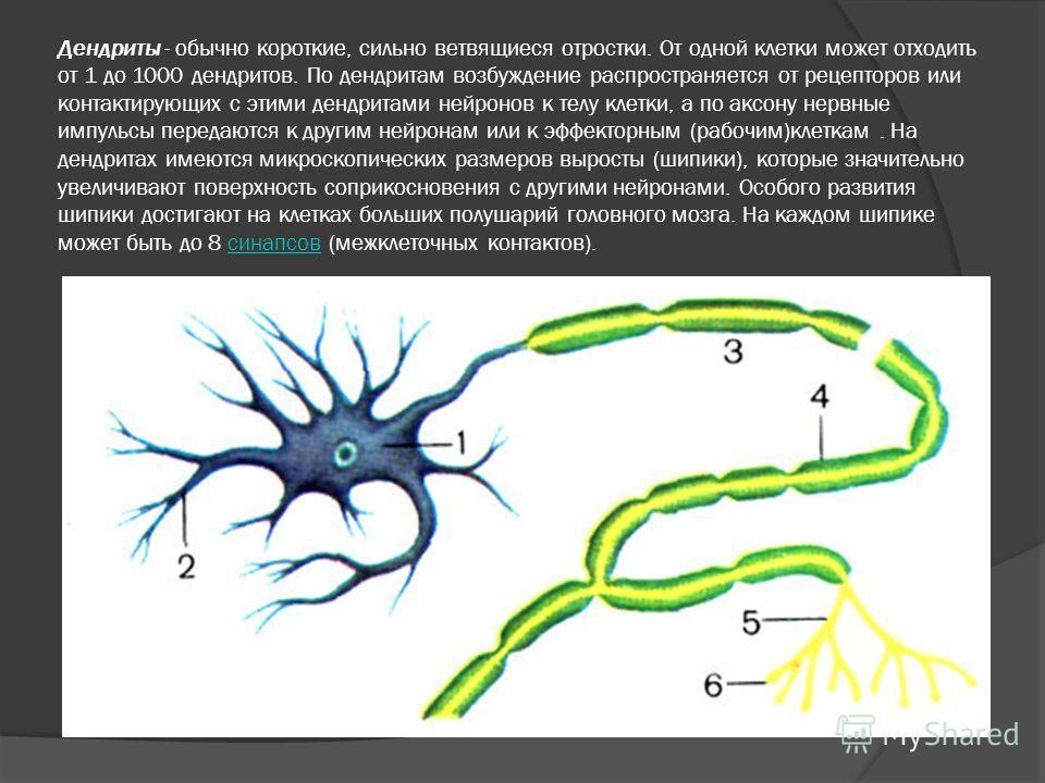 Дендриты - обычно короткие, сильно ветвящиеся отростки. От одной клетки может отходить от 1 до 1000 дендритов. По дендритам возбуждение распространяется от рецепторов или контактирующих с этими дендритами нейронов к телу клетки, а по аксону нервные и