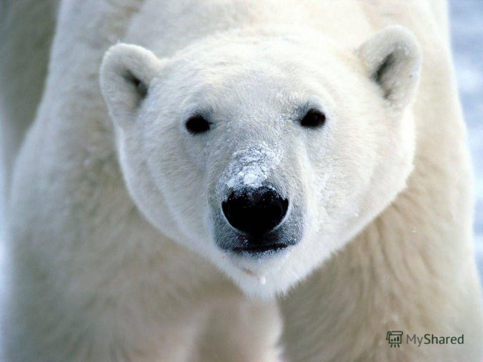 загадки Длинный мех бел, как снег. Ест тюленей и рыб на обед. Он отличный пловец И заботливый отец. Трёхметровый великан, Весит тыщу килограмм! И в любую непогоду Спрячет деток он в берлогу.