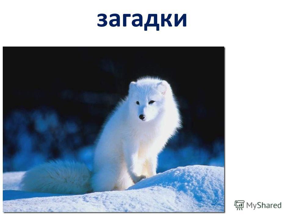 загадки Что за хищник за такой, С шерстью бело – голубой? Хвост пушистый, мех густой, В норы ходит на постой. Птицы, яйца, грызуны Для него всегда вкусны. На лису похож немного, Тоже псовая порода