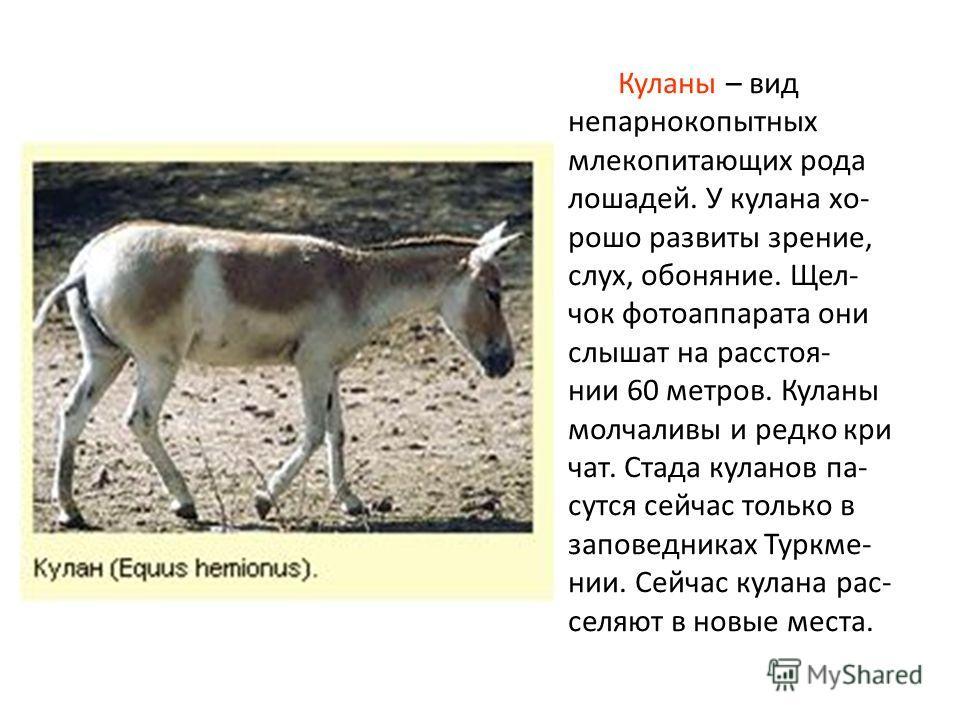 Куланы – вид непарнокопытных млекопитающих рода лошадей. У кулана хо- рошо развиты зрение, слух, обоняние. Щел- чок фотоаппарата они слышат на расстоя- нии 60 метров. Куланы молчаливы и редко кри чат. Стада куланов па- сутся сейчас только в заповедни