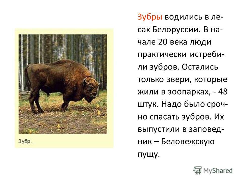 Зубры водились в ле- сах Белоруссии. В на- чале 20 века люди практически истреби- ли зубров. Остались только звери, которые жили в зоопарках, - 48 штук. Надо было сроч- но спасать зубров. Их выпустили в заповед- ник – Беловежскую пущу.