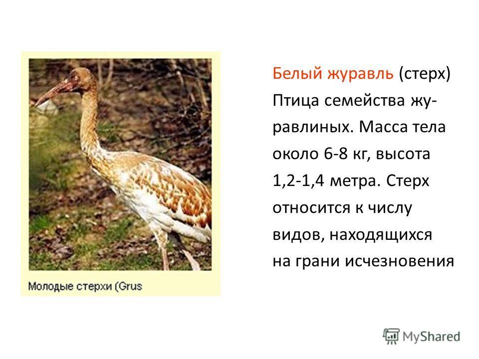 Белый журавль (стерх) Птица семейства жу- равлиных. Масса тела около 6-8 кг, высота 1,2-1,4 метра. Стерх относится к числу видов, находящихся на грани исчезновения