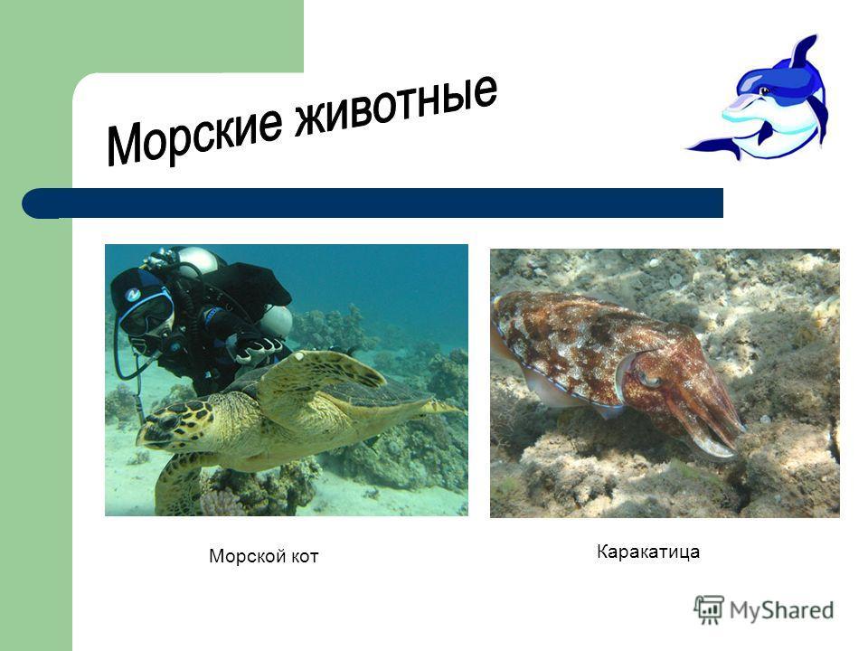 Морской кот Каракатица