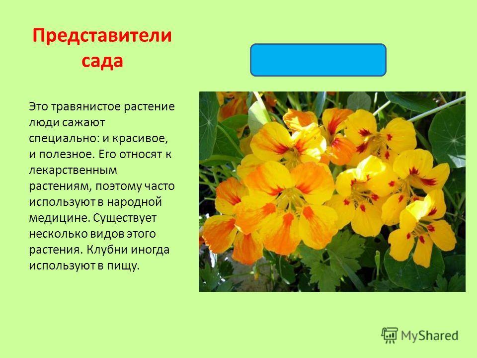 Это травянистое растение люди сажают специально: и красивое, и полезное. Его относят к лекарственным растениям, поэтому часто используют в народной медицине. Существует несколько видов этого растения. Клубни иногда используют в пищу. Представители са