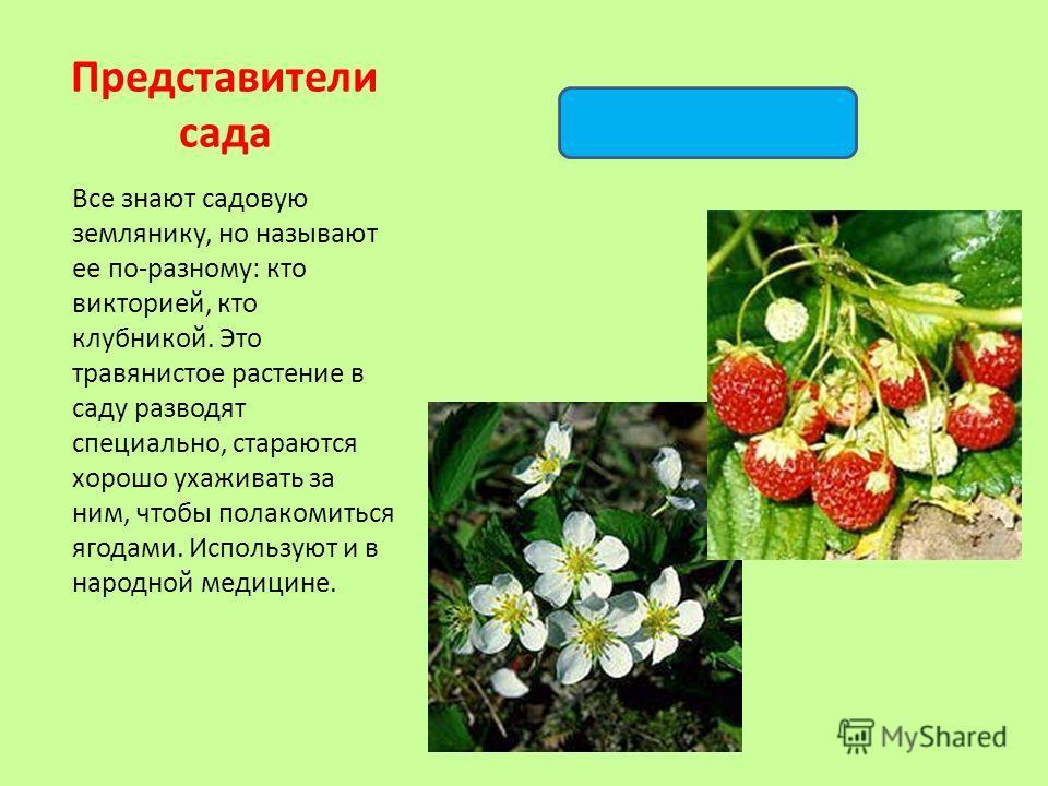 Все знают садовую землянику, но называют ее по-разному: кто викторией, кто клубникой. Это травянистое растение в саду разводят специально, стараются хорошо ухаживать за ним, чтобы полакомиться ягодами. Используют и в народной медицине. Представители