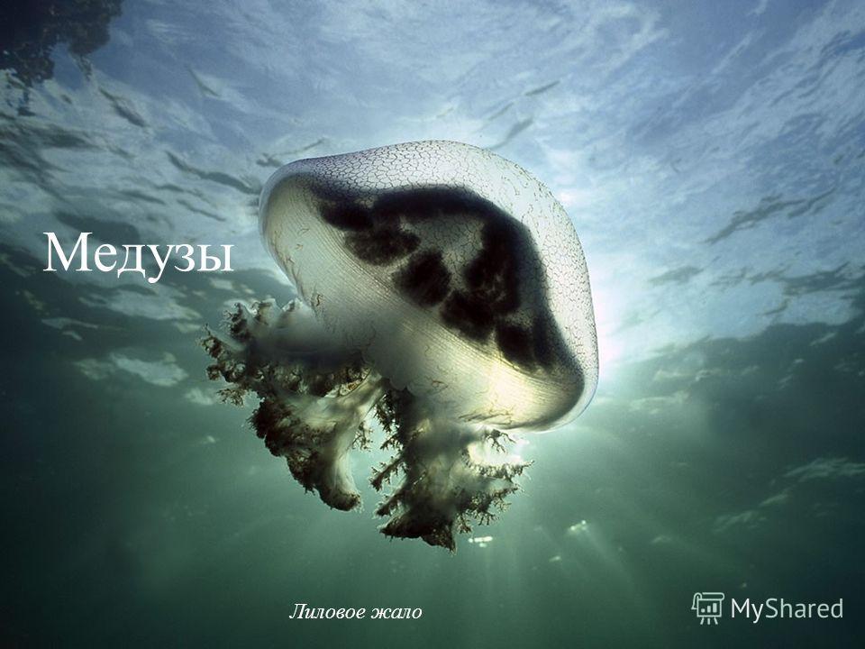 Медузы Лиловое жало Медузы