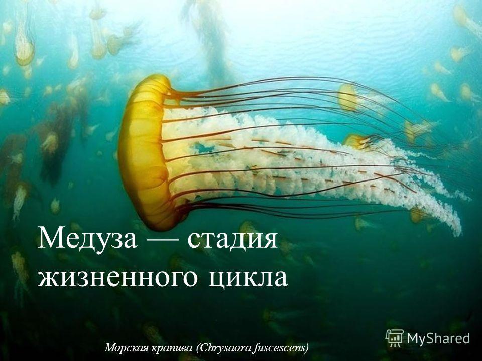 Морская крапива (Chrysaora fuscescens) Медуза стадия жизненного цикла