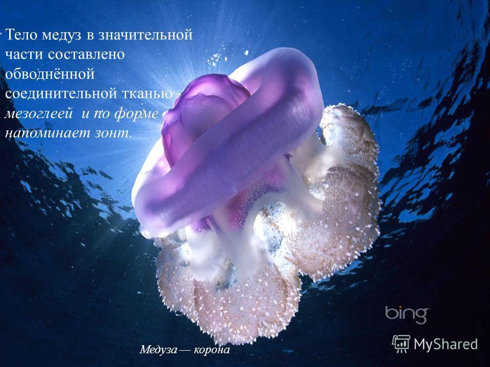 Тело медуз в значительной части составлено обводнённой соединительной тканью - мезоглеей и по форме напоминает зонт. Медуза корона