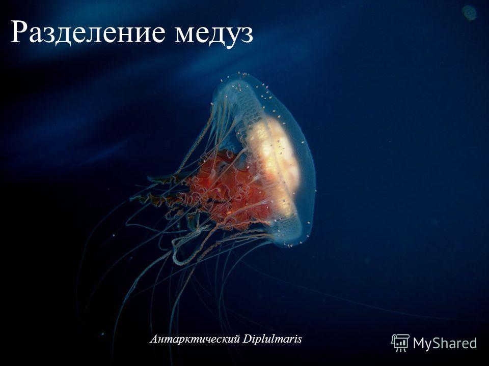 Антарктический Diplulmaris Разделение медуз