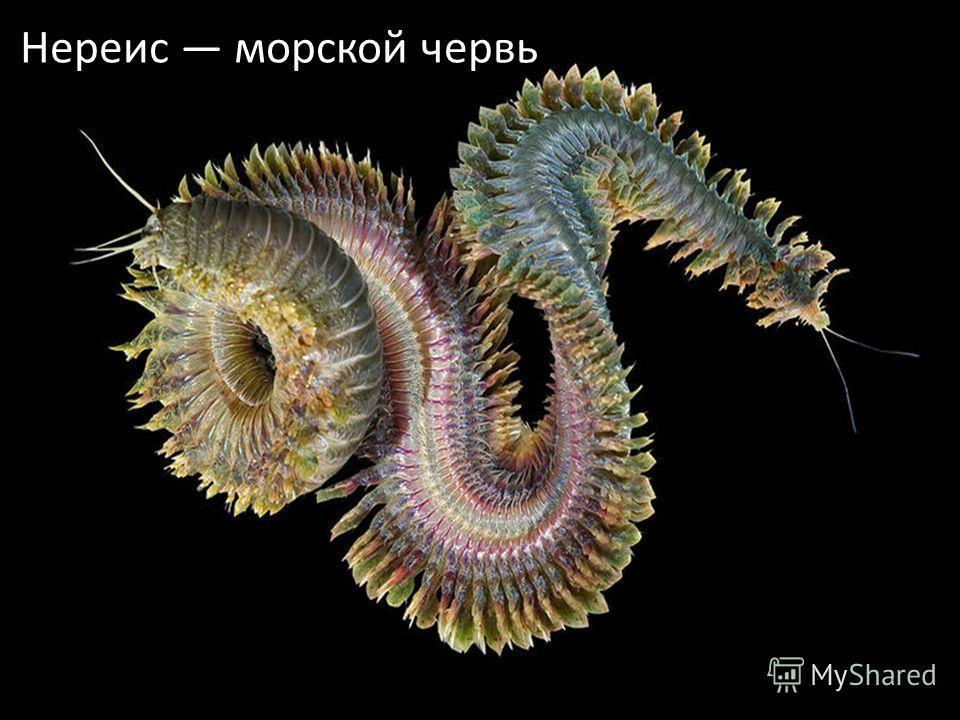 Нереис морской червь