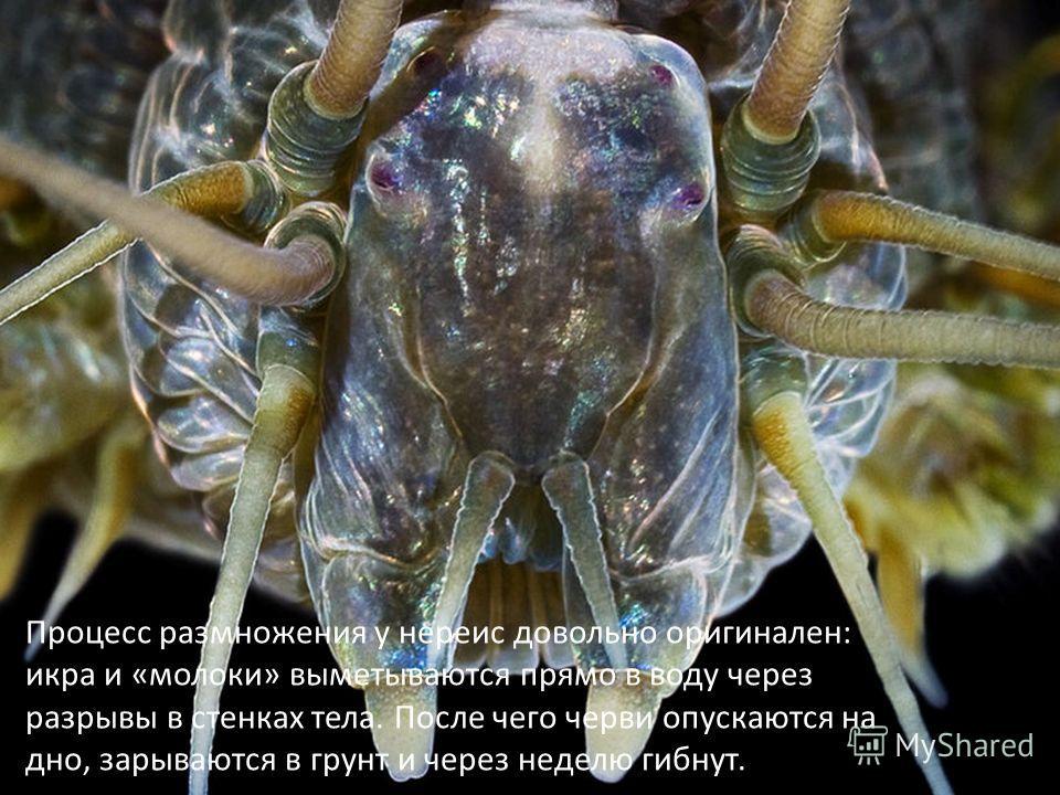 Процесс размножения у нереис довольно оригинален: икра и «молоки» выметываются прямо в воду через разрывы в стенках тела. После чего черви опускаются на дно, зарываются в грунт и через неделю гибнут.