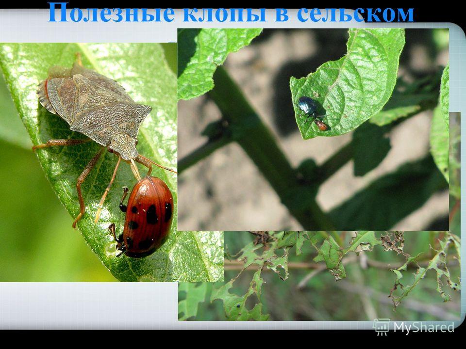 Полезные клопы в сельском хозяйстве Хищные клопы уничтожают вредных для сельского и лесного хозяйства насекомых гусениц, тлей, личинок жуков и др.