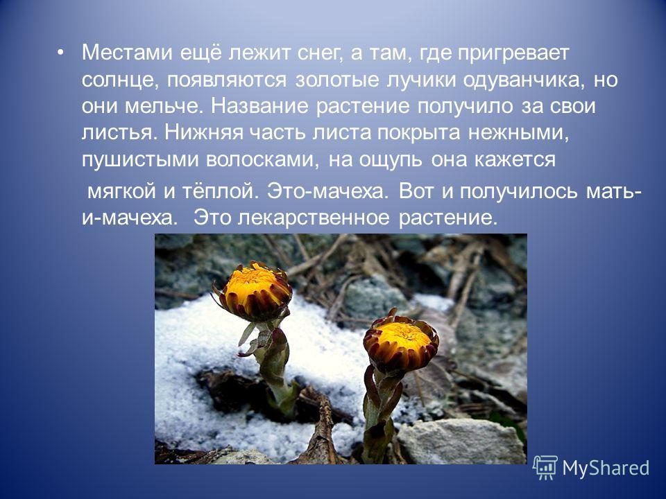 Местами ещё лежит снег, а там, где пригревает солнце, появляются золотые лучики одуванчика, но они мельче. Название растение получило за свои листья. Нижняя часть листа покрыта нежными, пушистыми волосками, на ощупь она кажется мягкой и тёплой. Это-м