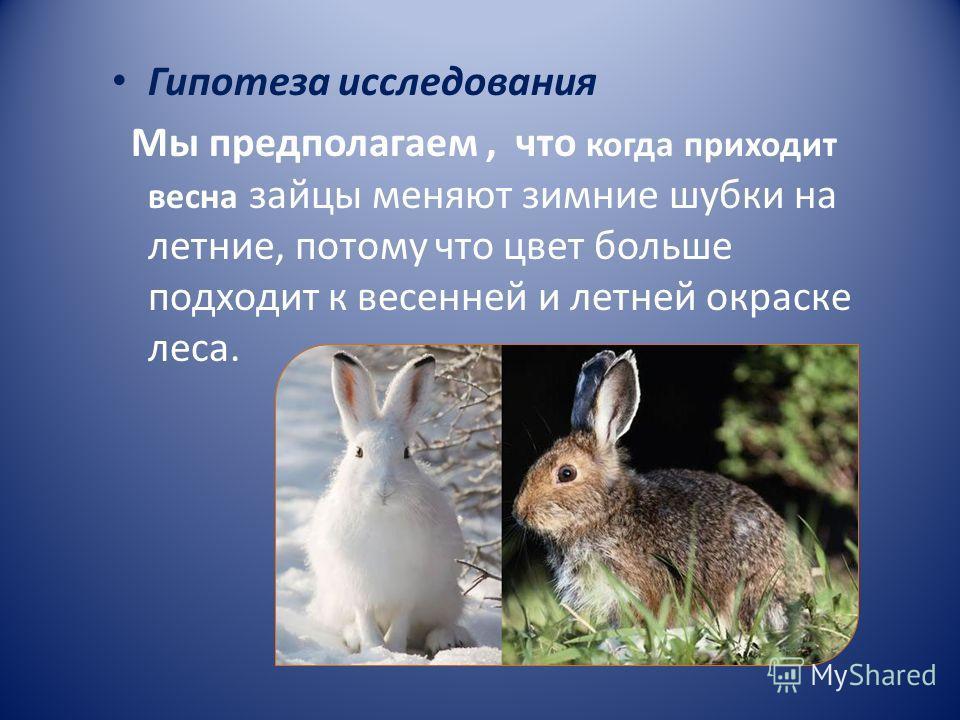 Гипотеза исследования Мы предполагаем, что когда приходит весна зайцы меняют зимние шубки на летние, потому что цвет больше подходит к весенней и летней окраске леса.