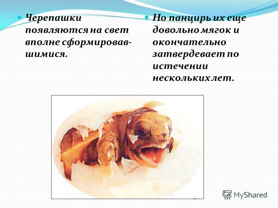 Черепашки появляются на свет вполне сформировав- шимися. Но панцирь их еще довольно мягок и окончательно затвердевает по истечении нескольких лет.