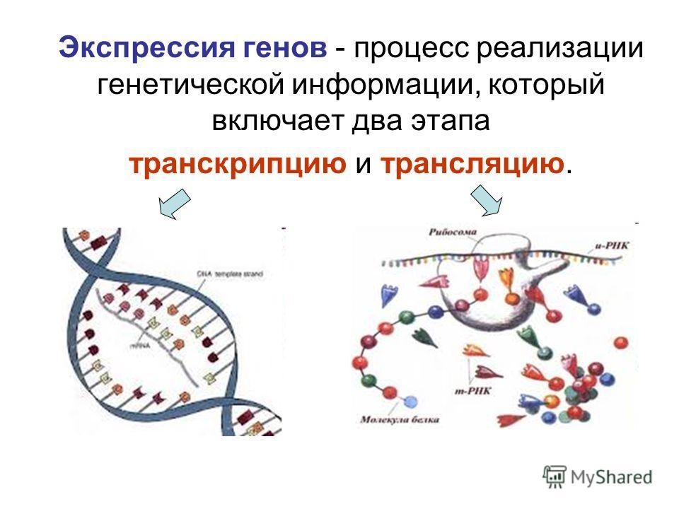 Экспрессия генов - процесс реализации генетической информации, который включает два этапа транскрипцию и трансляцию.