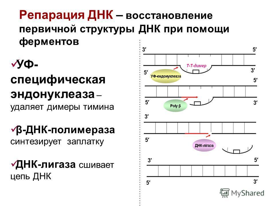 Репарация ДНК – восстановление первичной структуры ДНК при помощи ферментов УФ- специфическая эндонуклеаза – удаляет димеры тимина β-ДНК-полимераза синтезирует заплатку ДНК-лигаза сшивает цепь ДНК