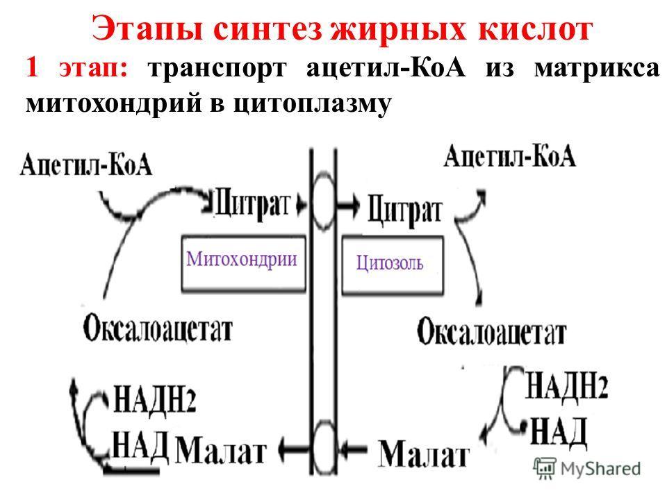 Этапы синтез жирных кислот 1 этап: транспорт ацетил-КоА из матрикса митохондрий в цитоплазму