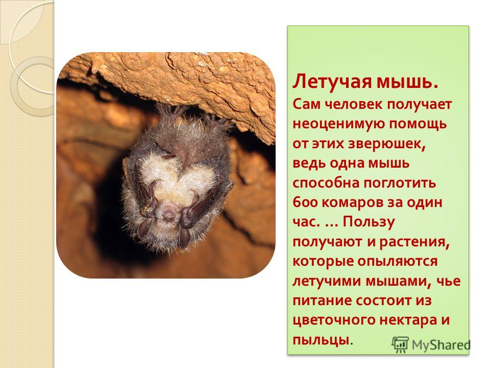 Летучая мышь. Сам человек получает неоценимую помощь от этих зверюшек, ведь одна мышь способна поглотить 600 комаров за один час. … Пользу получают и растения, которые опыляются летучими мышами, чье питание состоит из цветочного нектара и пыльцы. Лет