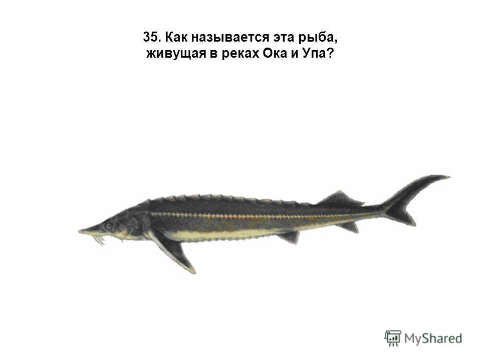 35. Как называется эта рыба, живущая в реках Ока и Упа?