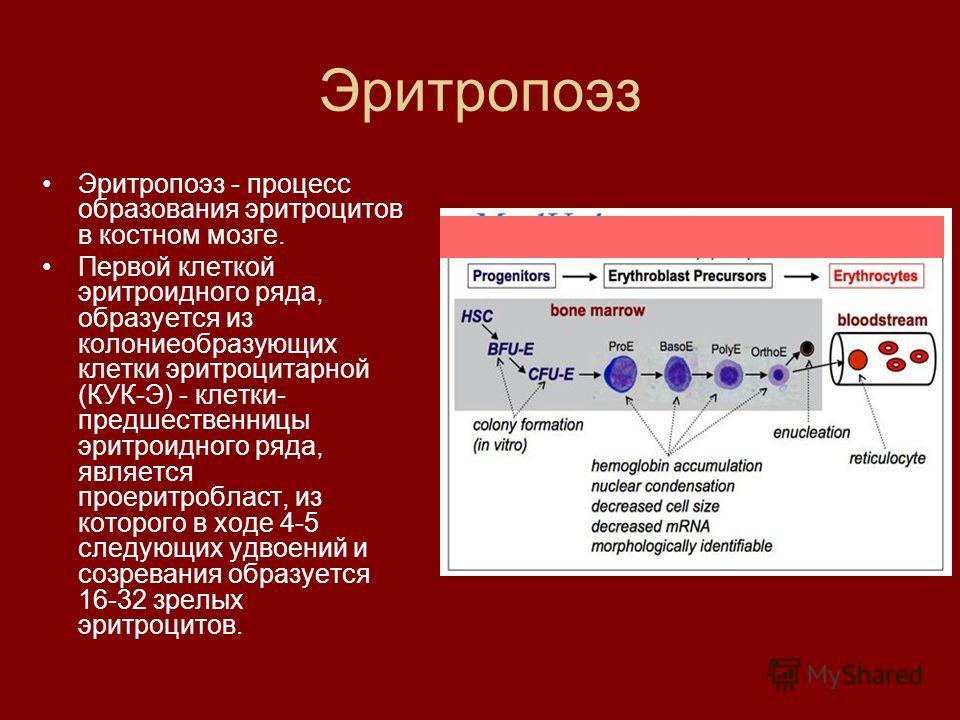 Эритропоэз Эритропоэз - процесс образования эритроцитов в костном мозге. Первой клеткой эритроидного ряда, образуется из колониеобразующих клетки эритроцитарной (КУК-Э) - клетки- предшественницы эритроидного ряда, является проеритробласт, из которого