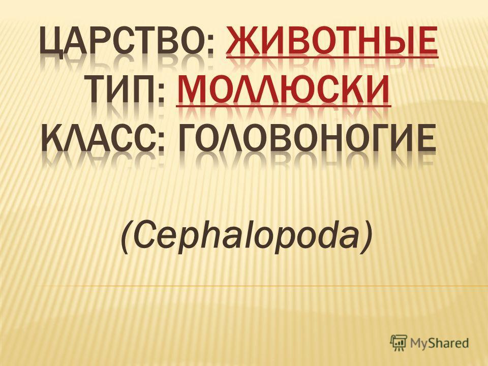 (Cephalopoda)