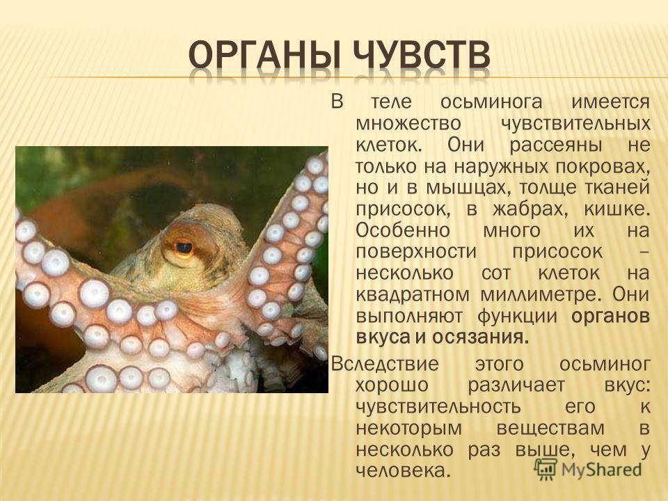 В теле осьминога имеется множество чувствительных клеток. Они рассеяны не только на наружных покровах, но и в мышцах, толще тканей присосок, в жабрах, кишке. Особенно много их на поверхности присосок – несколько сот клеток на квадратном миллиметре. О