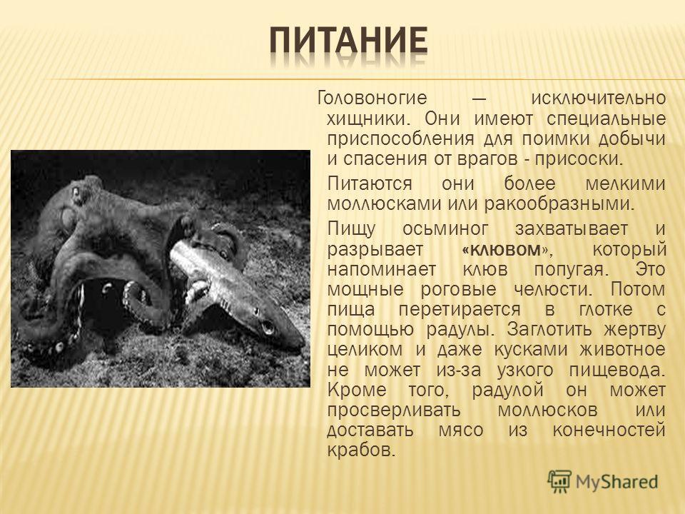 Головоногие исключительно хищники. Они имеют специальные приспособления для поимки добычи и спасения от врагов - присоски. Питаются они более мелкими моллюсками или ракообразными. Пищу осьминог захватывает и разрывает «клювом», который напоминает клю