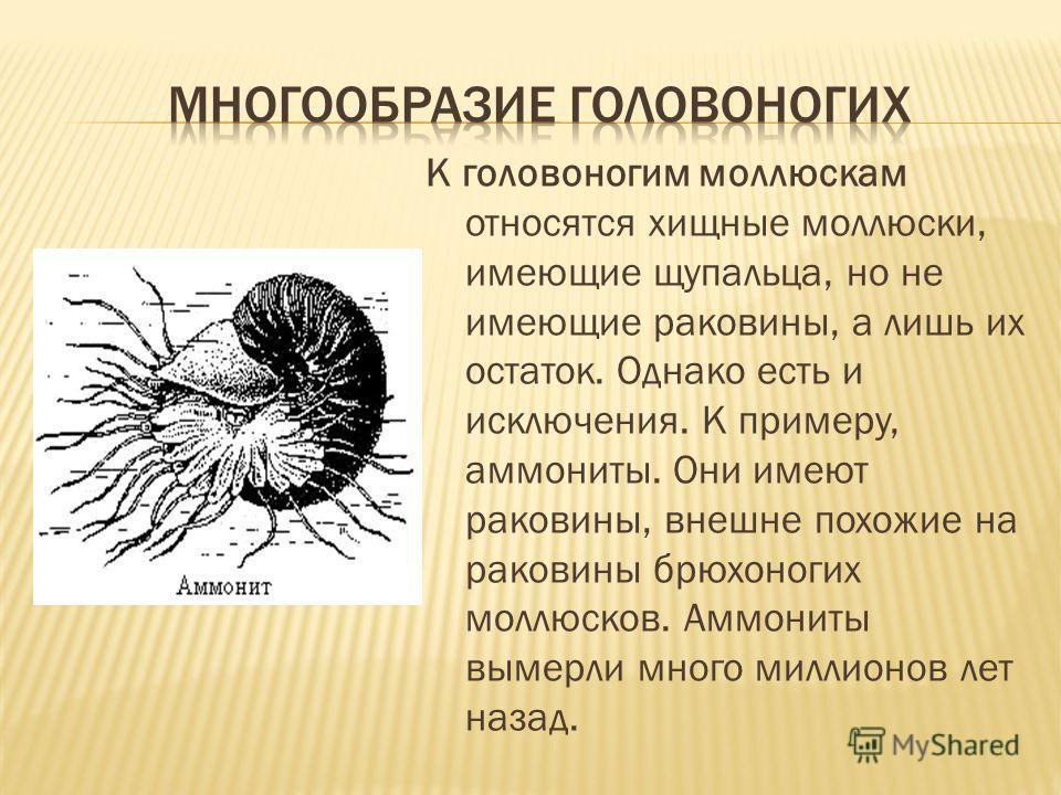 К головоногим моллюскам относятся хищные моллюски, имеющие щупальца, но не имеющие раковины, а лишь их остаток. Однако есть и исключения. К примеру, аммониты. Они имеют раковины, внешне похожие на раковины брюхоногих моллюсков. Аммониты вымерли много