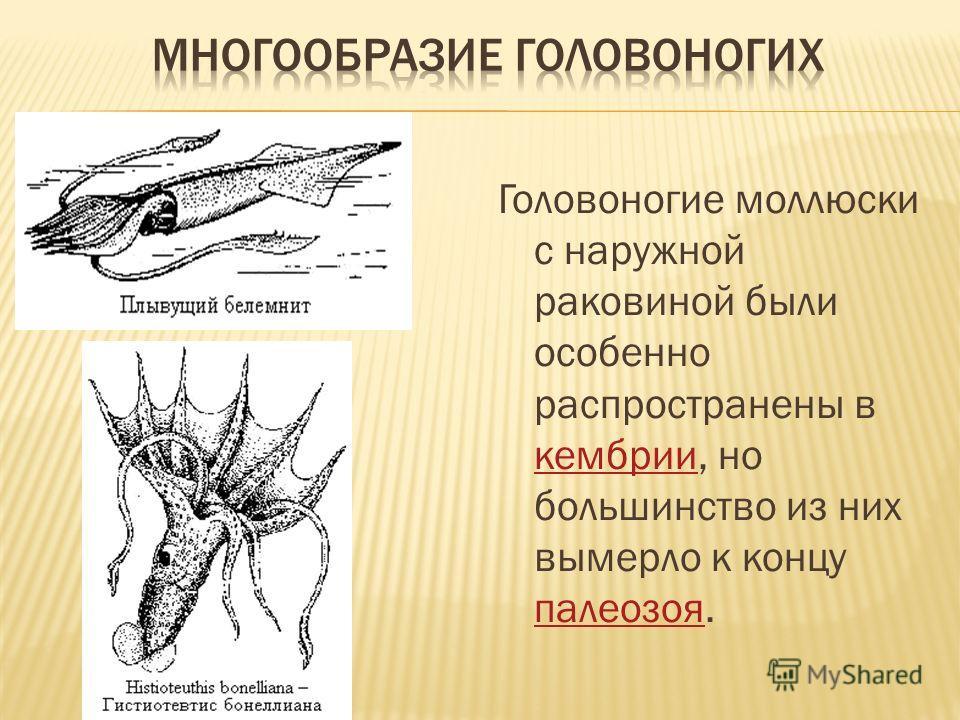 Головоногие моллюски с наружной раковиной были особенно распространены в кембрии, но большинство из них вымерло к концу палеозоя. кембрии палеозоя