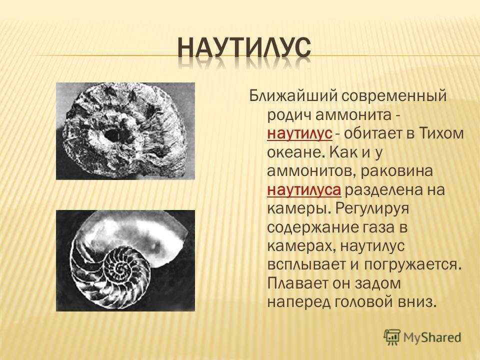 Ближайший современный родич аммонита - наутилус - обитает в Тихом океане. Как и у аммонитов, раковина наутилуса разделена на камеры. Регулируя содержание газа в камерах, наутилус всплывает и погружается. Плавает он задом наперед головой вниз. наутилу