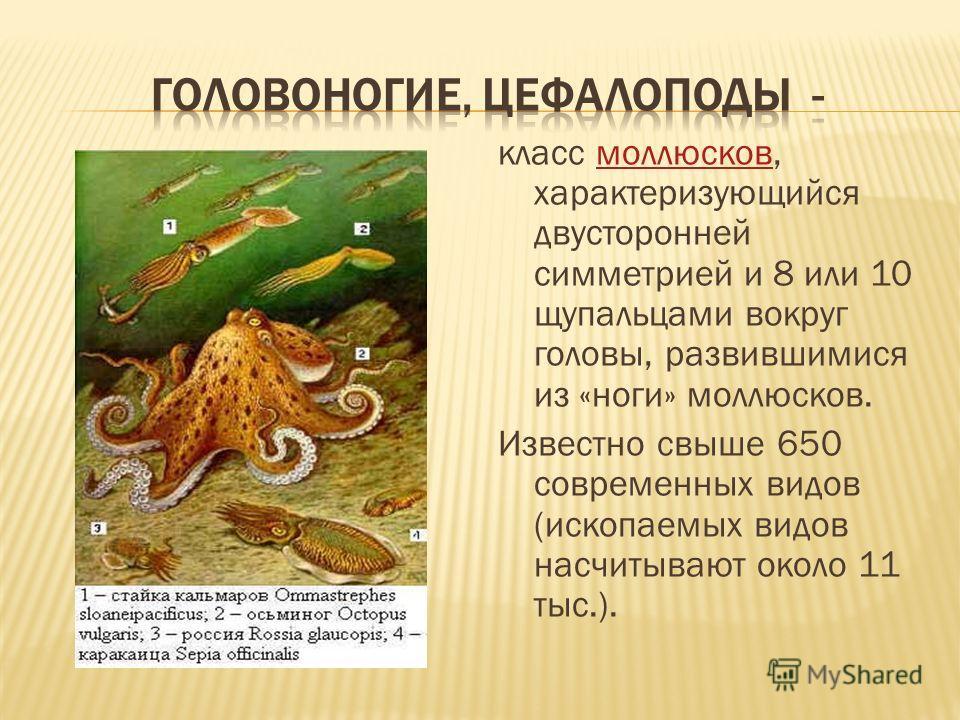 класс моллюсков, характеризующийся двусторонней симметрией и 8 или 10 щупальцами вокруг головы, развившимися из «ноги» моллюсков.моллюсков Известно свыше 650 современных видов (ископаемых видов насчитывают около 11 тыс.).