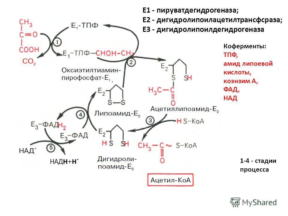 Е1 - пируватдегидрогеназа; Е2 - дигидролипоилацетилтрансфсраза; Е3 - дигидролипоилдегидрогеназа Коферменты: ТПФ, амид липоевой кислоты, коэнзим А, ФАД, НАД 1-4 - стадии процесса