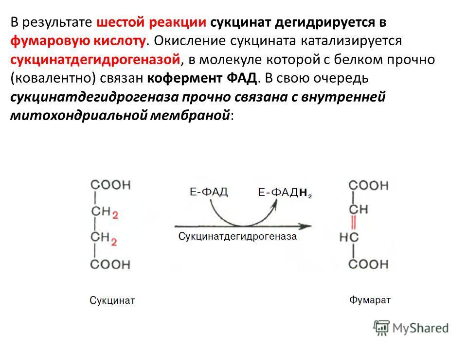 В результате шестой реакции сукцинат дегидрируется в фумаровую кислоту. Окисление сукцината катализируется сукцинатдегидрогеназой, в молекуле которой с белком прочно (ковалентно) связан кофермент ФАД. В свою очередь сукцинатдегидрогеназа прочно связа