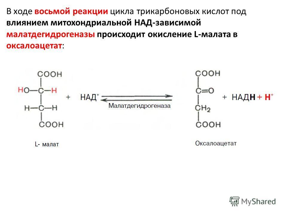 В ходе восьмой реакции цикла трикарбоновых кислот под влиянием митохондриальной НАД-зависимой малатдегидрогеназы происходит окисление L-малата в оксалоацетат: