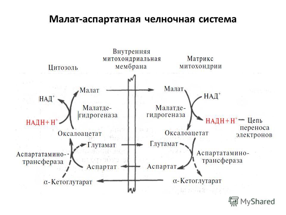Малат-аспартатная челночная система