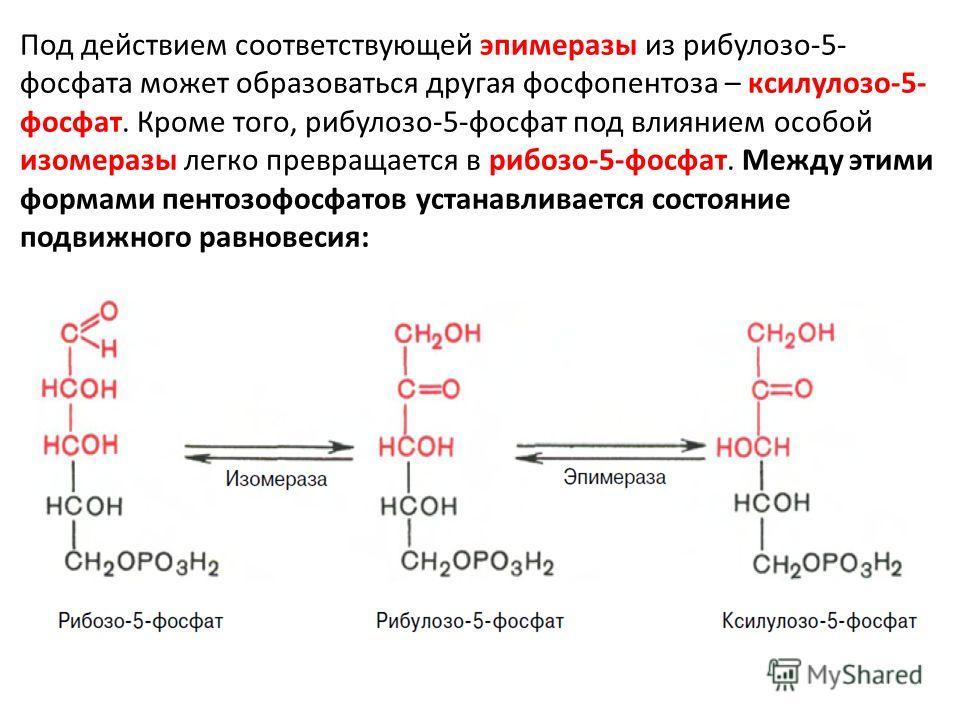 Под действием соответствующей эпимеразы из рибулозо-5- фосфата может образоваться другая фосфопентоза – ксилулозо-5- фосфат. Кроме того, рибулозо-5-фосфат под влиянием особой изомеразы легко превращается в рибозо-5-фосфат. Между этими формами пентозо