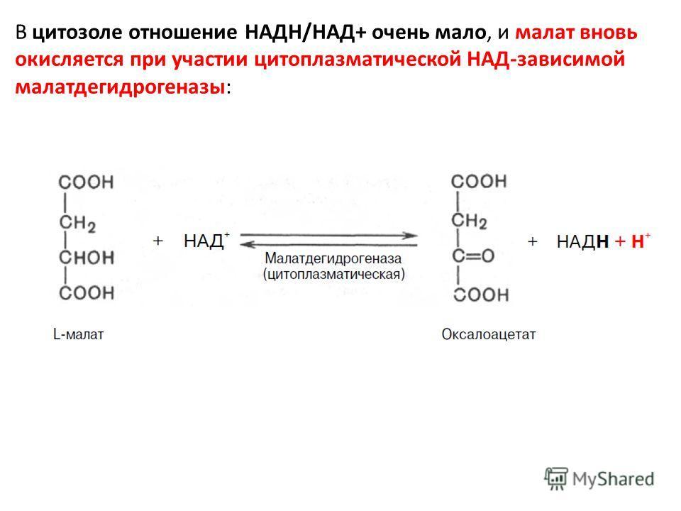 В цитозоле отношение НАДН/НАД+ очень мало, и малат вновь окисляется при участии цитоплазматической НАД-зависимой малатдегидрогеназы:
